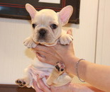 ID:FB580 French Bulldog  のイメージ
