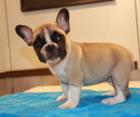 ID:FB577 French Bulldog  のイメージ