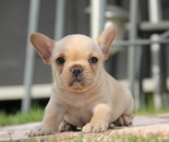 ID:FB595 French Bulldog のイメージ