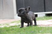 ID:FB596 French Bulldog