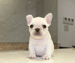 ID:FB598 French Bulldog のイメージ