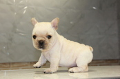 ID:FB599 French Bulldog