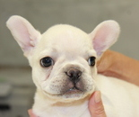 ID:FB601 French Bulldog  のイメージ