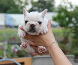 ID:FB604 French Bulldog のイメージ