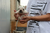 ID:FB604 French Bulldog