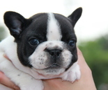 ID:FB605 French Bulldog  のイメージ