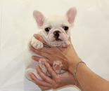 ID:FB611 French Bulldog のイメージ