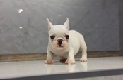 ID:FB611 French Bulldog