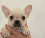 ID:FB613 French Bulldog のイメージ