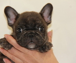 ID:FB615 French Bulldogのイメージ