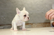 ID:FB617 French Bulldog