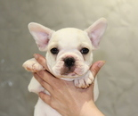 ID:FB614 French Bulldogのイメージ