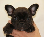 ID:FB618 French Bulldog のイメージ
