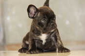 ID:FB618 French Bulldog
