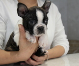 ID:BT137  Boston Terrierのイメージ