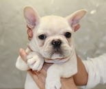 ID:FB606 French Bulldog のイメージ