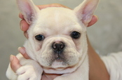 ID:FB606 French Bulldog