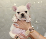 ID:FB607 French Bulldog のイメージ
