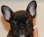 ID:FB608 French Bulldog のイメージ