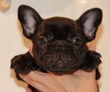 ID:FB609 French Bulldog のイメージ