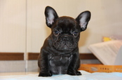 ID:FB609 French Bulldog
