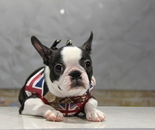 ID:BT143 Boston Terrierのイメージ