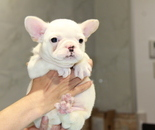 ID:FB628 French Bulldog のイメージ