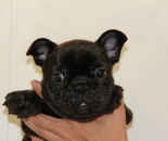 ID:FB629 French Bulldogのイメージ