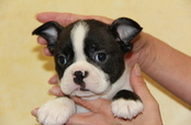 ID:BT145 Boston Terrier