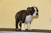 ID:BT146 Boston Terrier