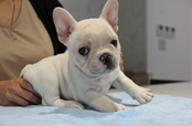 ID:FB620 French Bulldog