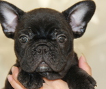 ID:FB621 French Bulldogのイメージ