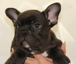 ID:FB622 French Bulldog のイメージ