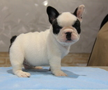 ID:FB623 French Bulldogのイメージ