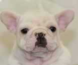 ID:FB624 French Bulldogのイメージ