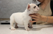 ID:FB624 French Bulldog