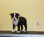 ID:BT145 Boston Terrier のイメージ