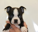 ID:BT151 Boston Terrier のイメージ
