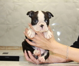 ID:BT152 Boston Terrier のイメージ