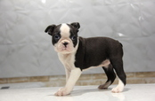 ID:BT152 Boston Terrier
