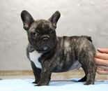 ID:FB631 French Bulldog のイメージ