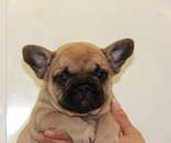 ID:FB632 French Bulldog のイメージ