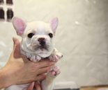ID:FB795 French Bulldogのイメージ