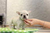 ID:FB806 French Bulldog