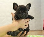 ID:FB807 French Bulldog のイメージ