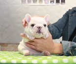 ID:FB800 French Bulldogのイメージ