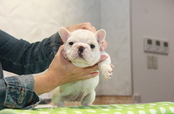 ID:FB803 French Bulldog
