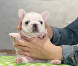 ID:FB802 French Bulldogのイメージ