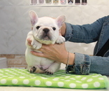 ID:FB809 French Bulldogのイメージ