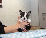 ID:BT224 Boston Terrier のイメージ